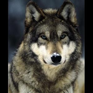Loups, renards, chacals